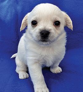 ALEXIS female 6wks Havanese Terrier Mix
