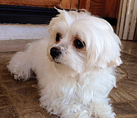 BENTLEY Male 5 yrs old Maltese