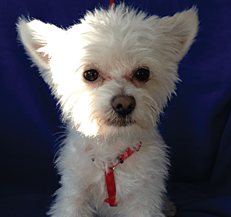 CAPPY male 1 yr old West highland Terrier Mix