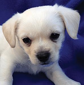 DILLON male 6 wks Havanese Terrier Mix
