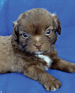 KALHUA female 6 wks Havanese Terrier Mix