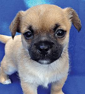 MOCHA female 6 wks Havanese Terrier Mix